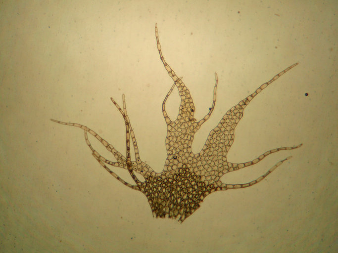 Image of <i>Ptilidium californicum</i> (Austin) Underw. & O. F. Cook
