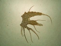 Image of <i>Ptilidium californicum</i> (Austin) Underw. & O. F. Cook