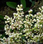 Image of laurel sumac