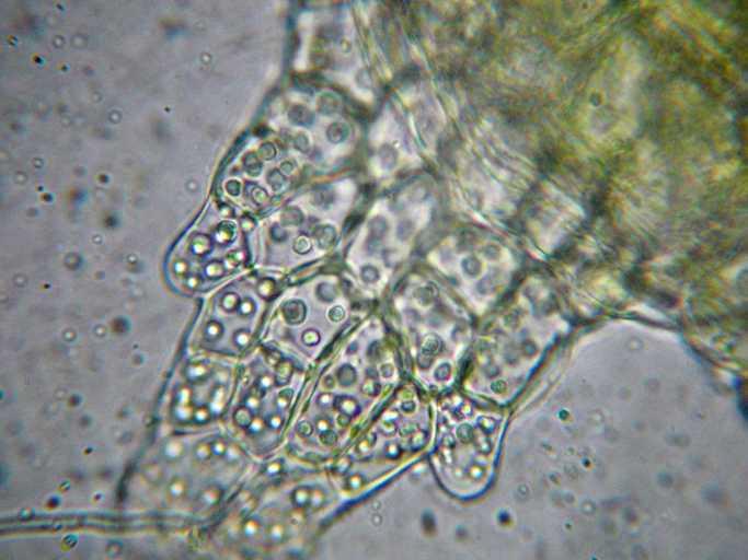 Image of <i>Cephaloziella spinigera</i> (Lindb.) Warnst.