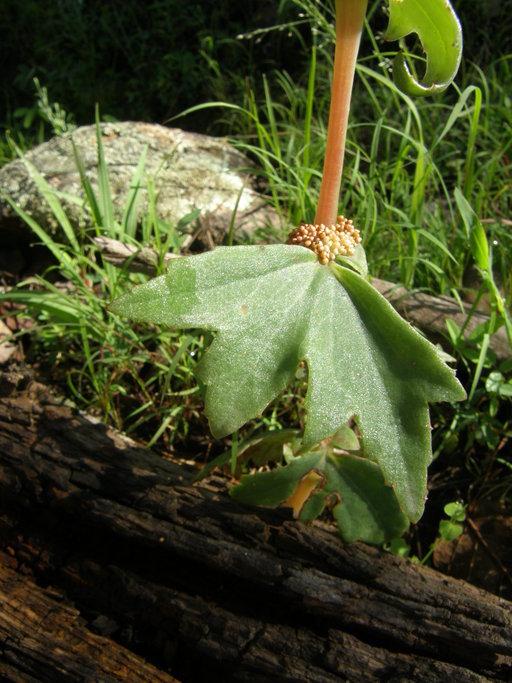 Image of <i>Begonia angustiloba</i> A. DC.