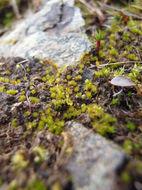 Image of California entosthodon moss