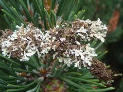Image of seaside tube lichen