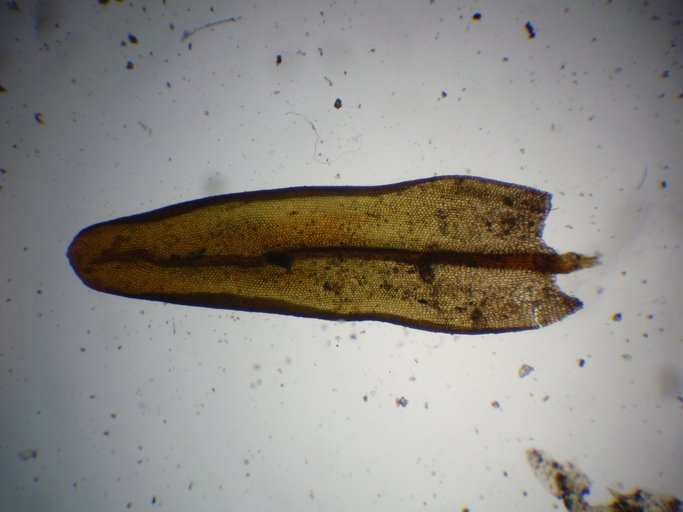Image of <i>Orthotrichum euryphyllum</i> Venturi ex Röll 1890
