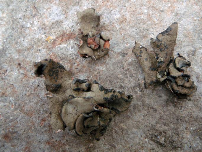 Image of <i>Peltula euploca</i>