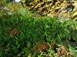 Image of plagiothecium moss