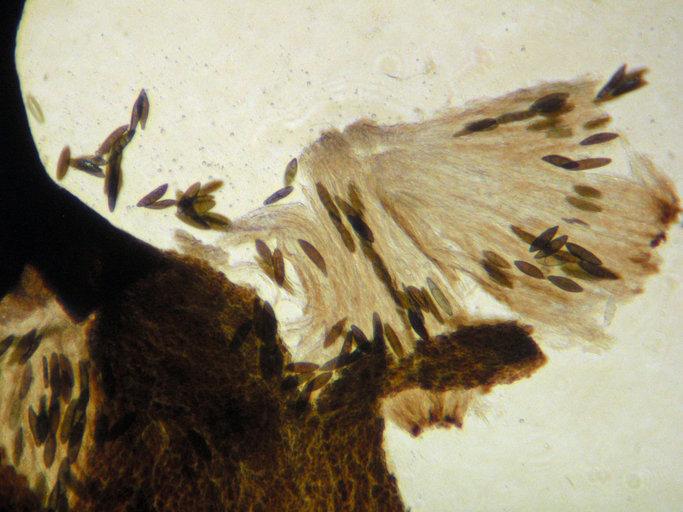 Image of stenocybe lichen