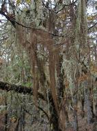 Image of sulcaria lichen