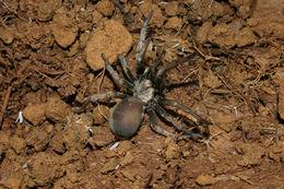 Image of <i>Calisoga longitarsus</i>