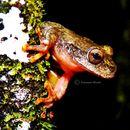 Image of Guerreran stream frog