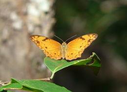 Image of <i>Lachnoptera ayresii</i> Trimen 1879