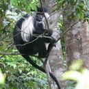 Image of Angola Colobus