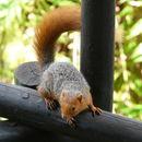 Image of Red Bush Squirrel