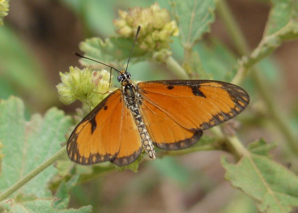Image of <i>Acraea eponina</i> Cramer 1780