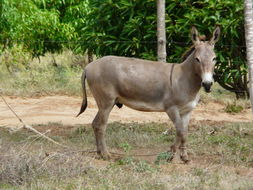 Image of African wild ass