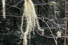 Image of beard lichen