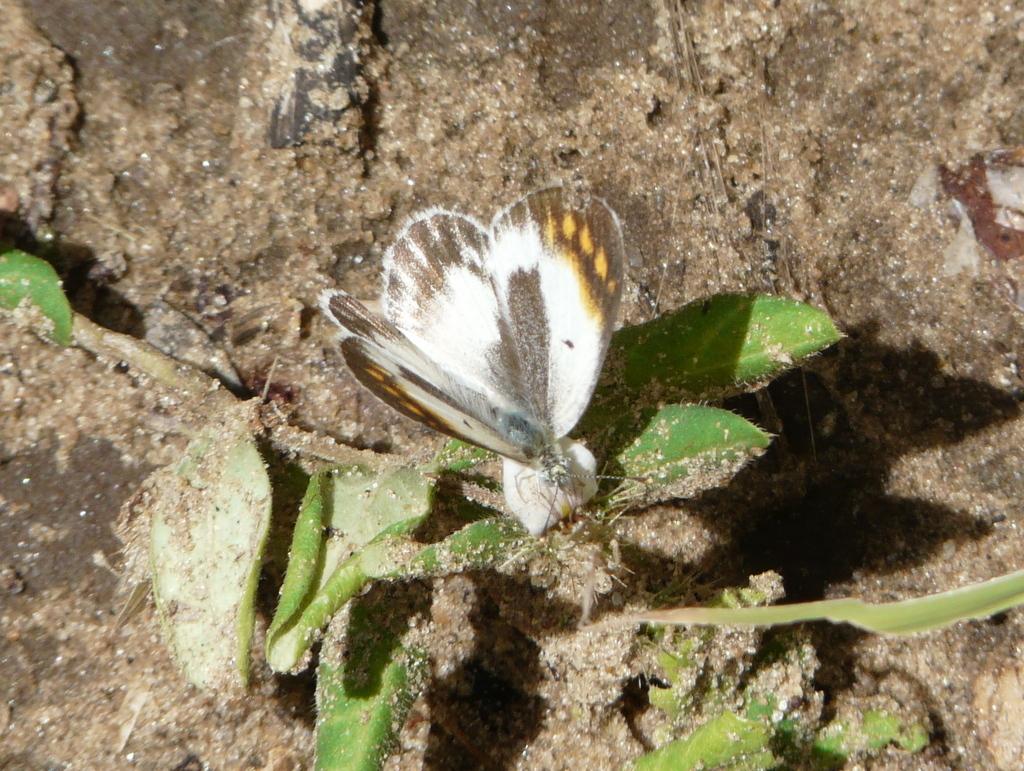 Image of <i>Colotis antevippe</i> (Boisduval 1836)