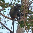 Image of Sykes' monkey