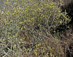 Image of Sitka willow
