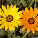 Image of Cape marigold