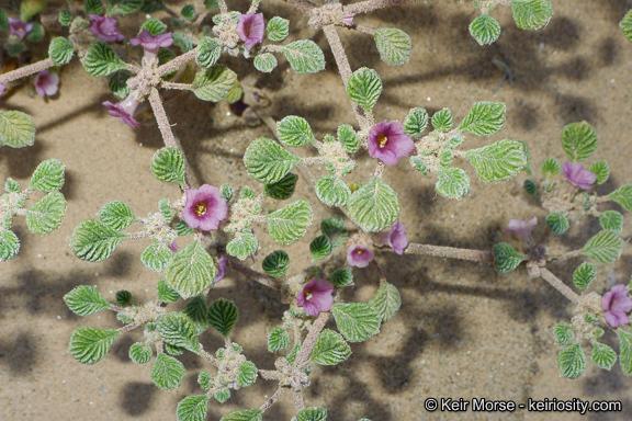 Image of <i>Tiquilia plicata</i> (Torr.) A. Richards.