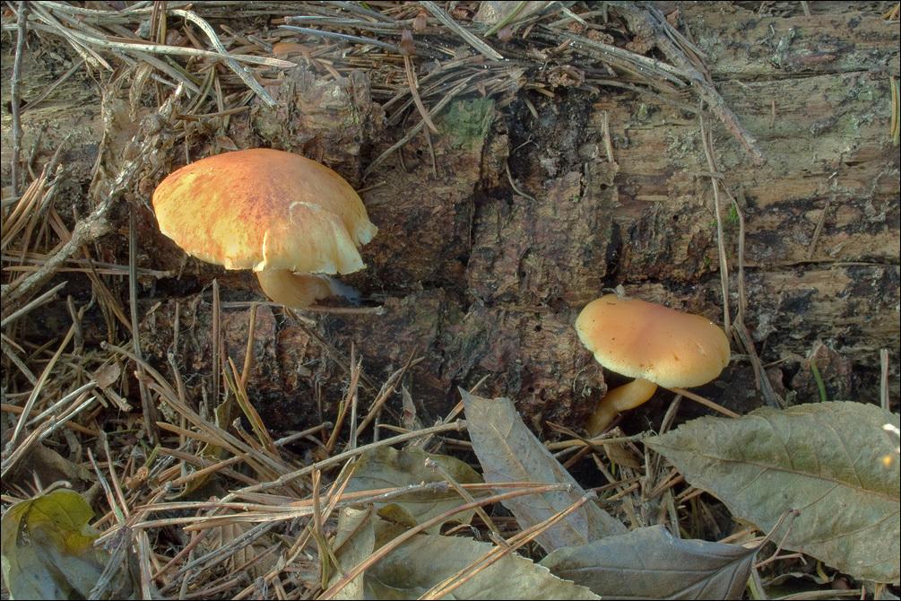 Image of Conifer scalycap