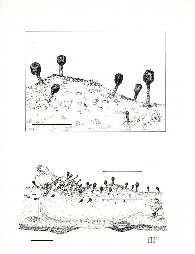 Image of <i>Stenocybe fragmenta</i> E. B. Peterson & Rikkinen