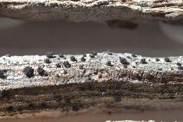 Image of soot lichen