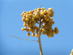 Image of wingleaf soapberry