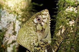 Image of Casque-headed iguana