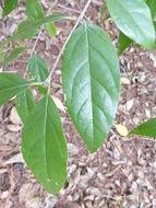 Image of <i>Chimonanthus nitens</i> Oliv.