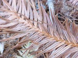 Image of <i>Cunninghamia konishii</i> Hayata