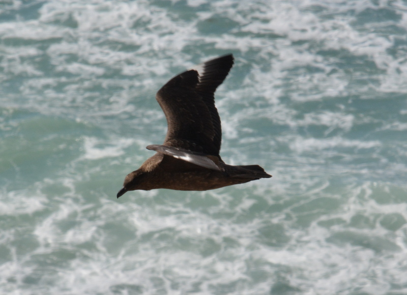 Image of Brown Skua