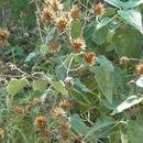 Image of <i>Bahiopsis tomentosa</i> (A. Gray) E. E. Schill. & Panero