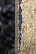 Image of <i>Terana caerulea</i>