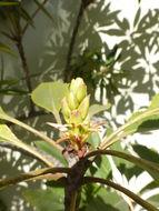 Image of <i>Eriobotrya deflexa</i> (Hemsl.) Nakai