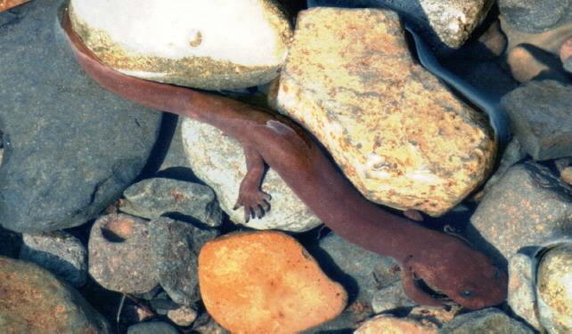 Image of Cope's Giant Salamander