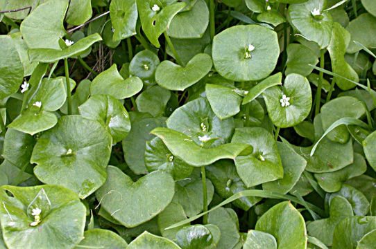 Image of miner's lettuce