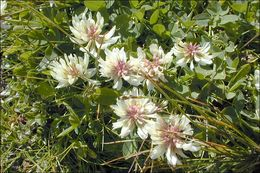 Image of Pale Clover