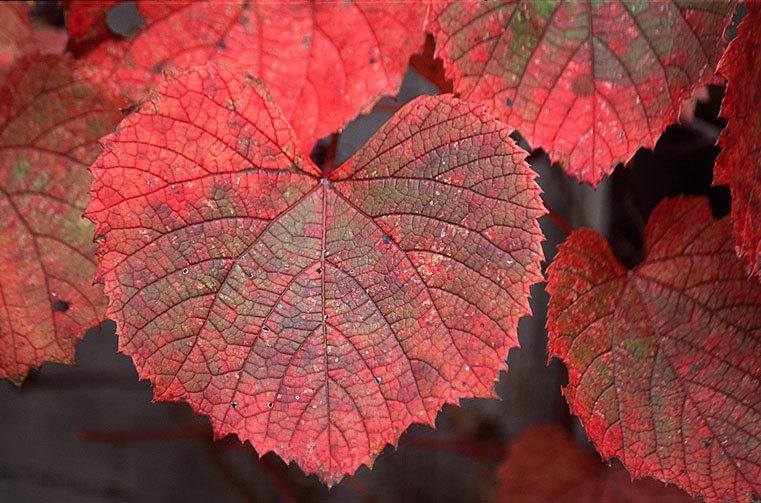 Image of Amur grape
