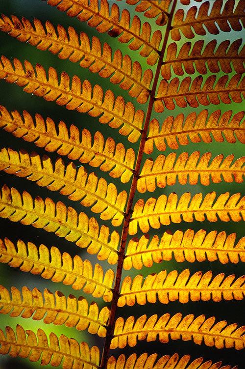 Image of <i>Osmundastrum asiaticum</i> Tagawa