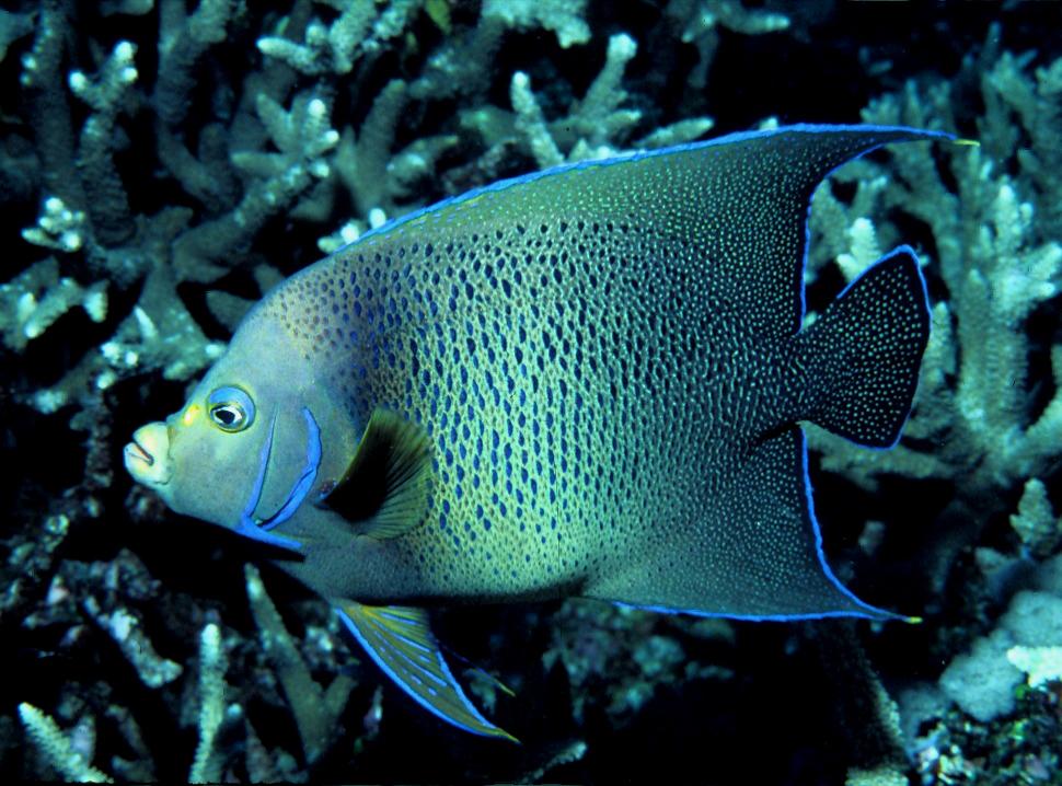 Image of Half-circled Angelfish