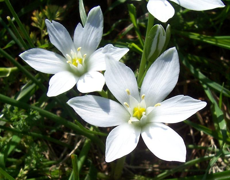 Image of Star-of-Bethlehem