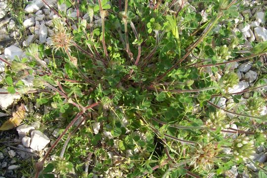 Image of star clover