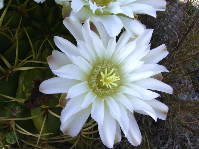 Image of <i>Gymnocalycium monvillei</i> (Lem.) Pfeiff. ex Britton & Rose