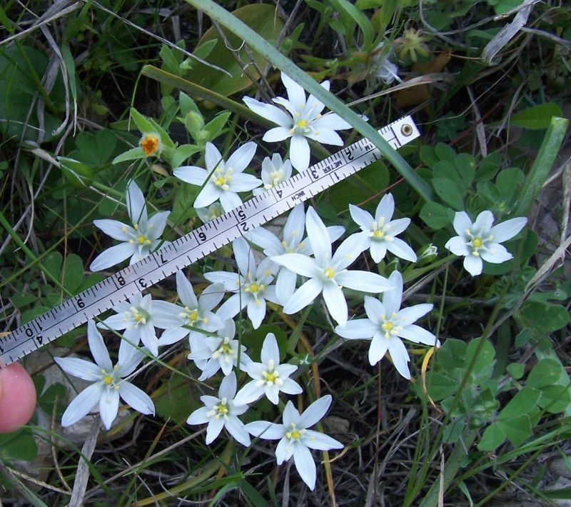 Image of <i>Ornithogalum gussonei</i> Ten.