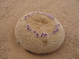 Image of sandfood