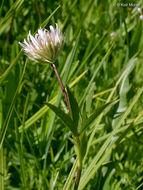 Image of Hansen's clover