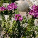 Image of purple mountainheath