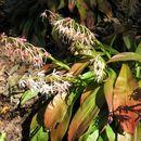 Image of <i>Ypsilandra thibetica</i> Franch.